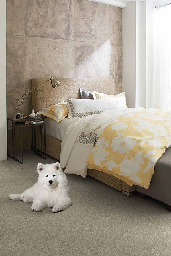 Samoyed dog on beige bedroom carpet