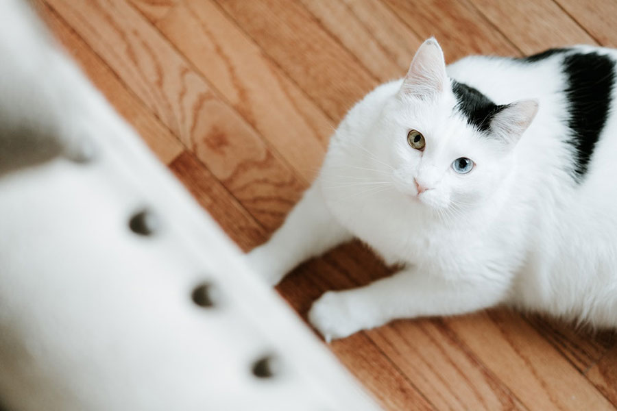 Black and white cat with two toned eyes laying on hardwood floor